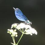 Blauflügel Pracht-Libelle