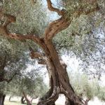 Olivenbaum Italien