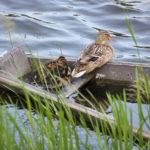 Enten auf der Memel, Litauen