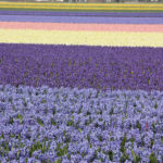 Hyazinthenfelder, Holland