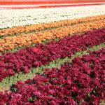 Tulpenfelder, Holland