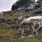 Rentiere am Nordkap, Norwegen