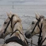 Kutschfahrt durchs Watt, Cuxhaven