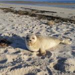 Robbe am Wattenmeer